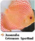 JuvenileCrimsonSpotted