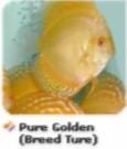 pure golden