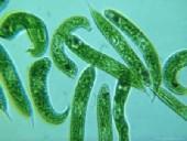 euglenophyta865
