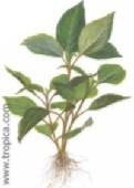 Hygrophila corymbosa992