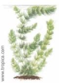 ceratophyllum demersum229