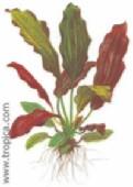echinodorus barthii409