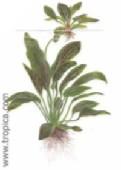 echinodorus ozelot263
