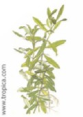hygrophila polysperma48