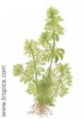 limnophila sessiliflora197