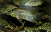 Chaetobranchus1