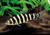 Leporinus fasciatus
