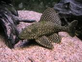 Pterygoplichthys