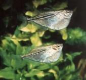 gasteropelecus