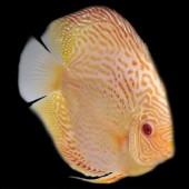 discus-albino-L