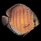 discus-brown-L