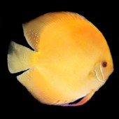 discus-golden-L