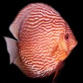 discus-redturquoise-L