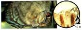 gyrodactylus412