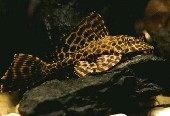 hypostomus plecostomus621