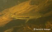 Leporinus agasizis