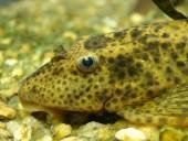Liposarchus spp