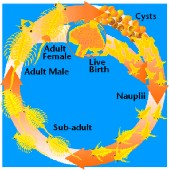 Artemia krog