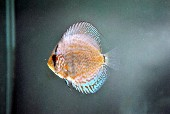 Blue briliant tourquoise discus