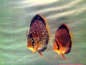 Brown pair discus