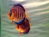 Natural brown discus pair with frys