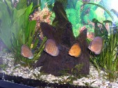 akvarij-leon