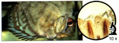 paraziti v ribah